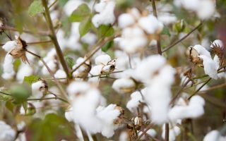 Cotton-made-in-Afrika.jpg