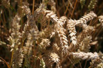Stärke wird in Deutschland vor allem aus Weizen, Mais und Kartoffeln gewonnen. (Photo: FNR/Pohlan)