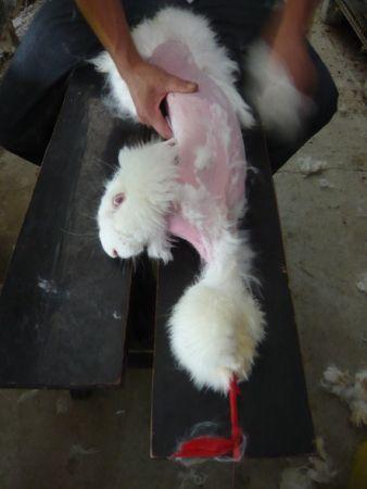 Lebendrupf von Angora-Kaninchen in China– Produktion von Angorawolle in China: Die Angora-Kaninchen werden in winzigen Einzelkäfigen gehalten. Z...