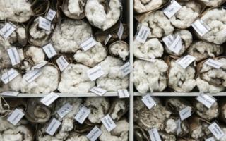 Verschiedene-Baumwollsorten.jpg
