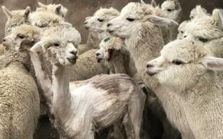 Alpaka-Tierschutz-Fell.jpg