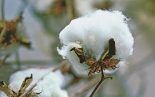 Baumwolle Photo: Cotton USA