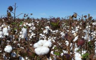 Ägypten: Steigende Baumwollproduktion 2021/22