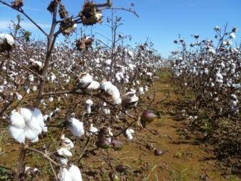 Baumwollplantage-.jpg