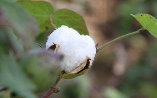 Fairtrade-Baumwolle.jpg
